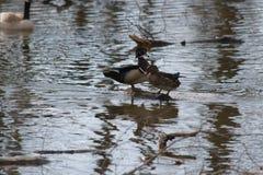 Paare der hölzernen Enten Stockfoto