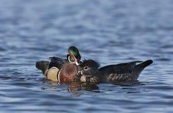 Paare der hölzernen Enten, die im Ottawa-Fluss schwimmen Stockfotografie