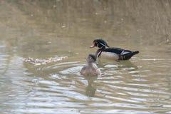 Paare der hölzernen Enten im Wasser Stockfoto