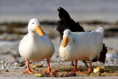 Paare der inländischen Enten Stockfotos