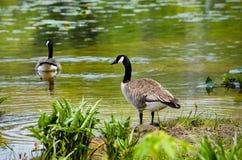Paare der kanadischen Gänse in einem Teich lizenzfreie stockbilder