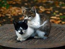 Paare der kleinen Miezekatze Lizenzfreies Stockfoto