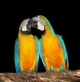 Paare der Macawpapageien Stockfoto