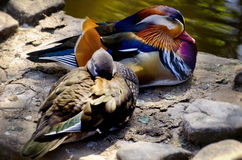 Paare der Mandarinen-Ente Lizenzfreie Stockbilder
