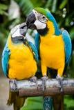Paare der Papageien Lizenzfreies Stockfoto