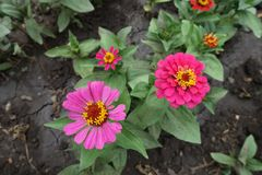 Paare der rosa Blumen von Zinnia stockfotos