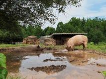 Paare der rosa Schweine, die im Schlamm sich wälzen und wurzeln lizenzfreies stockfoto