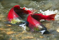 Paare der roten Lachse lizenzfreies stockbild