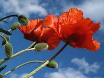 Paare der roten Mohnblumen, die gen Himmel im Mai ausdehnen Lizenzfreie Stockfotos