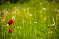 Paare der roten Tulpen Stockfotos