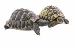 Paare der Schildkröten Stockfoto