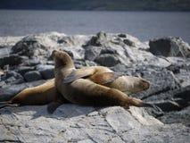 Paare der Seelöwen auf Felsen am Spürhund-Kanal Stockfotografie
