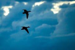 Paare der silhouettierten Enten, die in den dunklen Abend-Himmel fliegen Stockfoto