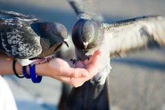 Paare der Tauben essen Krumen von der Hand Lizenzfreies Stockbild