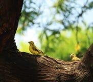 Paare der Vögel Stockfotografie