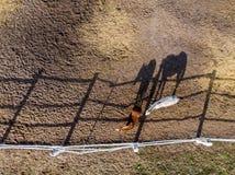 Paare der vollblütigen Pferde, die in der Koppel nahe Stall gehen und weiden lassen Langer Glättungsnachmittagsschatten Schöne Ti stockfotografie