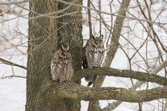 Paare der Waldohreule, Asio Otus, hockten im Baum Lizenzfreie Stockfotos