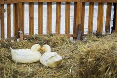 Paare der weißen Enten auf Heu Paare von Pekin-Ente Stockbilder