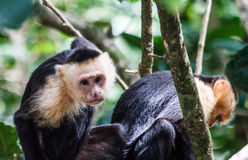 Paare der weißen gegenübergestellten Affen Stockbild