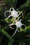 Paare der weißen Lilie mögen Blumen mit den langen Blumenblättern Stockbild