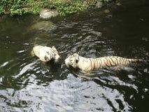 Paare der weißen schwimmenden Tiger Lizenzfreie Stockfotografie