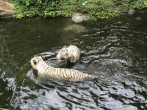 Paare der weißen schwimmenden Tiger Lizenzfreie Stockfotos