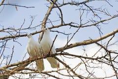 Paare der weißen Tauben stockfotos