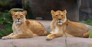 Paare der weiblichen Löwen Lizenzfreie Stockfotografie