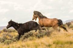 Paare der wilden Mustangs Lizenzfreie Stockfotografie