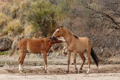 Paare der wilden Pferde, die in der Arizona-Wüste sich auseinander setzen lizenzfreie stockfotografie