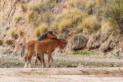 Paare der wilden Pferde, die in der Arizona-Wüste sich auseinander setzen stockfotos