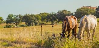 Paare der wilden Pferde, die in der Maremmana-Landschaft in Tusc weiden lassen lizenzfreie stockfotos
