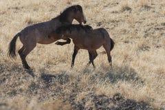 Paare der wilden Pferde, die in Utah sich auseinander setzen lizenzfreies stockfoto