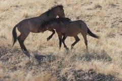 Paare der wilden Pferde, die in der Utah-Wüste sich auseinander setzen lizenzfreie stockbilder