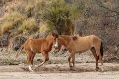 Paare der wilden Pferde, die in der Wüste sich auseinander setzen stockfoto