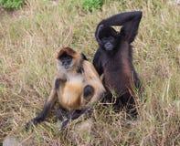Paare des Affen Lizenzfreie Stockfotografie