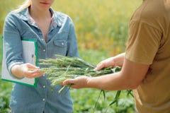 Paare des Agronomen verhandelnd über zukünftige Ernte des Weizens, stockfoto