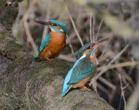 Paare des Eisvogels zusammen sitzend auf einer Niederlassung Lizenzfreies Stockfoto