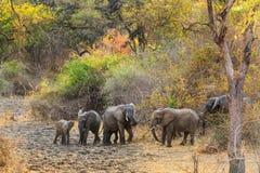 Paare des Elefanten gehend und in den Büschen essend stockfotografie