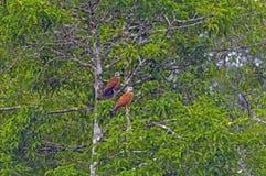Paare des Falken inte Regen-Waldes Stockfotos