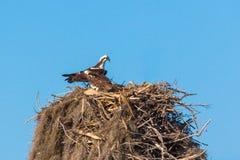 Paare des Fischadlernistens Stockfotografie