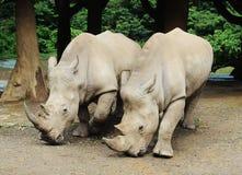 Paare des großen Nashorns Lizenzfreies Stockfoto