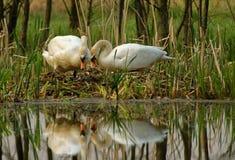 Paare des Höckerschwans durch das Nest Lizenzfreie Stockbilder