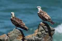 Paare des jungen Fischadlers gehockt auf Felsen Stockfotografie