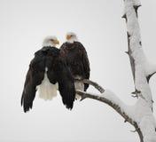 Paare des kahlen Adlers Stockbild