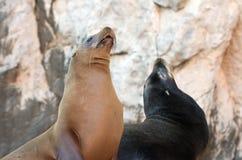 """Paare des Kalifornischen Seelöwen auf La Lobera-""""the Wölfe Lairâ€-, welches die Seelöwenkolonie an Los Arcos an den Ländern be Lizenzfreie Stockbilder"""