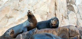 """Paare des Kalifornischen Seelöwen auf La Lobera-""""the Wölfe Lairâ€-, welches die Seelöwenkolonie an Los Arcos an den Ländern be Lizenzfreie Stockfotos"""