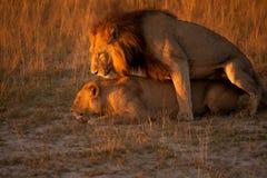 Paare des Löwes Stockfotos