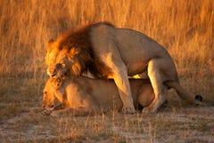 Paare des Löwes Stockbild