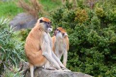 Paare des patas Affeessens Stockbilder